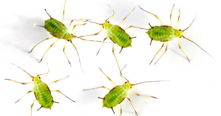 How to get rid of aphids with essential oils
