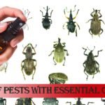 How to get rid of pest with essential oils