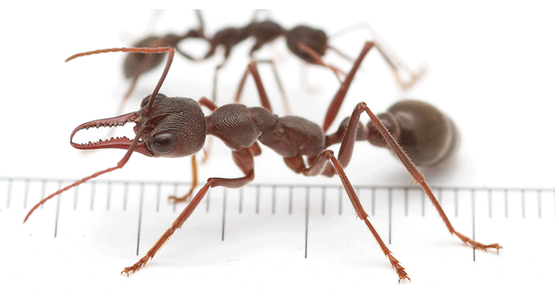 how to use essential oils to get rid of ants