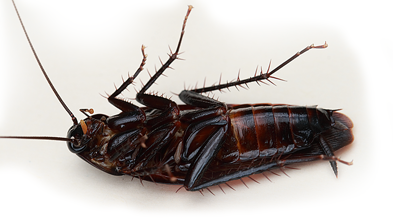 How to get rid of cockroaches with essential oils