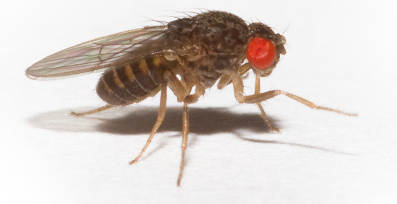 How to use essential oils to fight flies