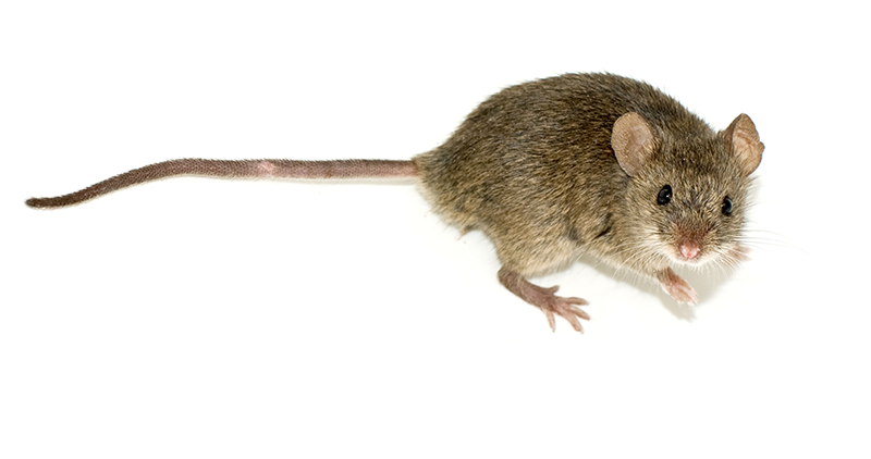 how to repel mice with essential oils survival tips
